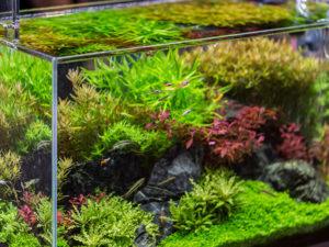 cultivos fertilizantes naturales agua de pecera