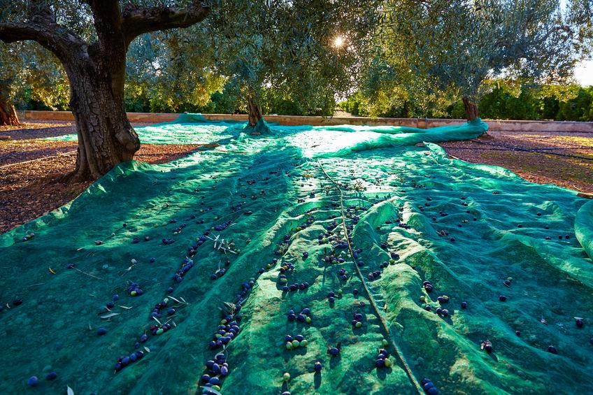 oliva cosecha manto