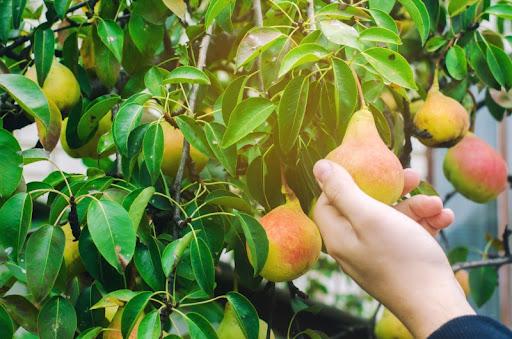 árboles frutales plantación